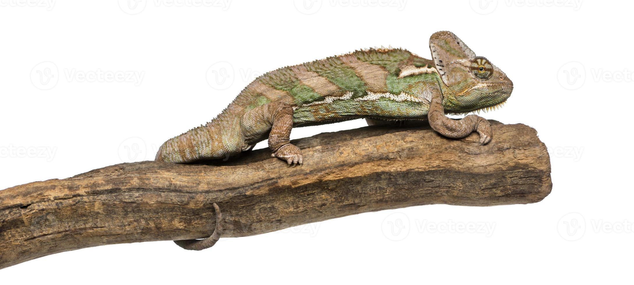 vista lateral do camaleão velado em pé em um galho foto