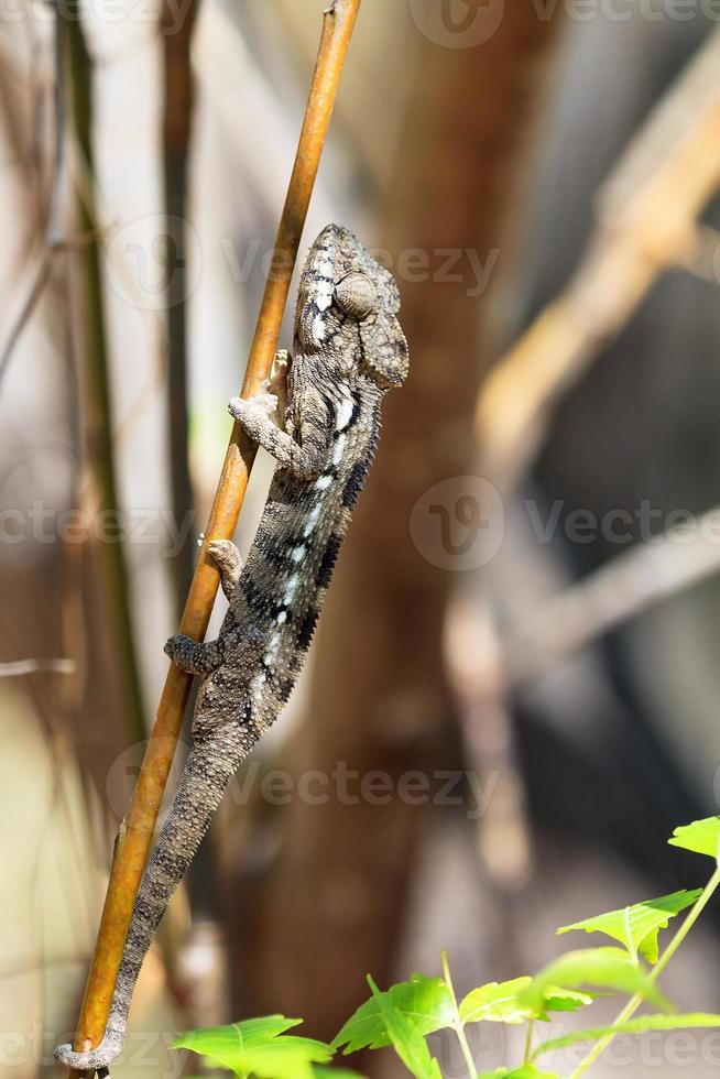 camuflagem camaleão anja foto