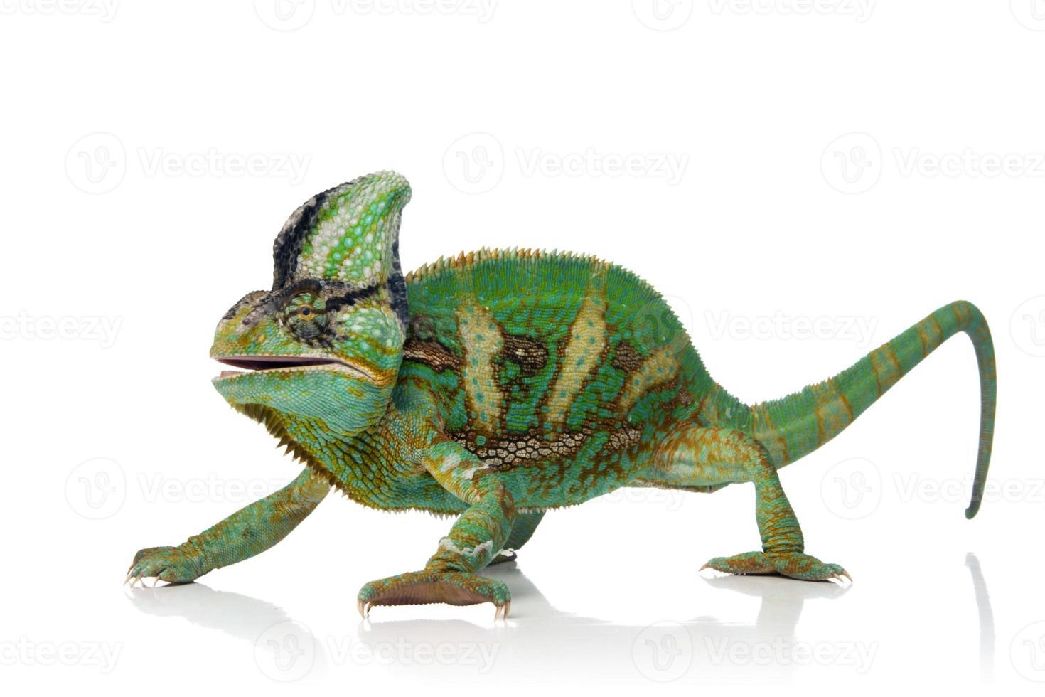 camaleão feliz foto