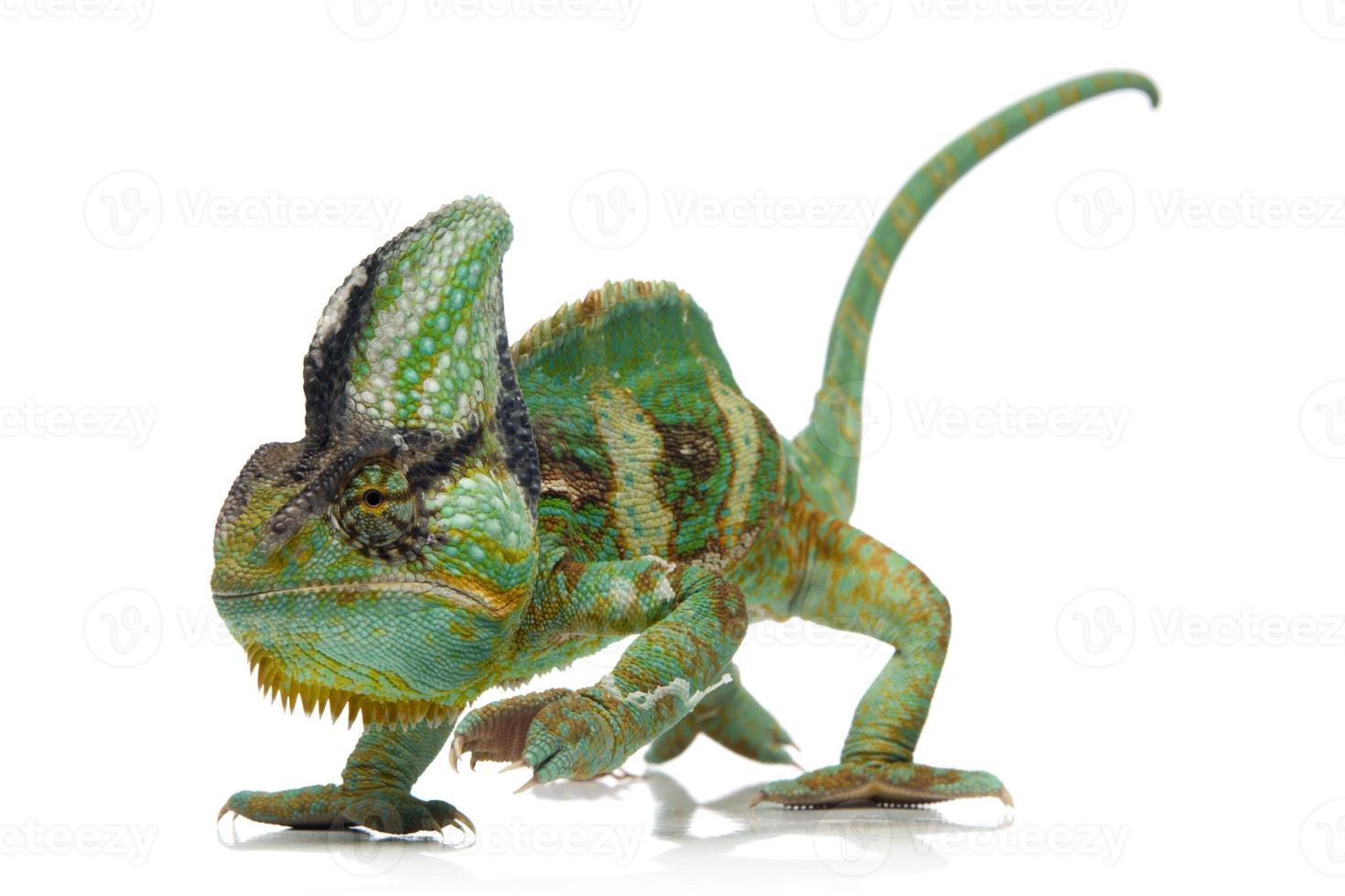 camaleão velado com cores vivas, isolado no branco foto