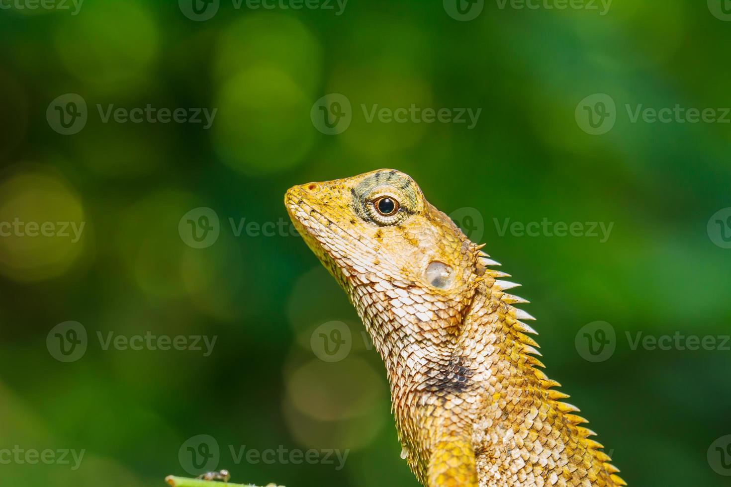 camaleão Tailândia na folha verde foto