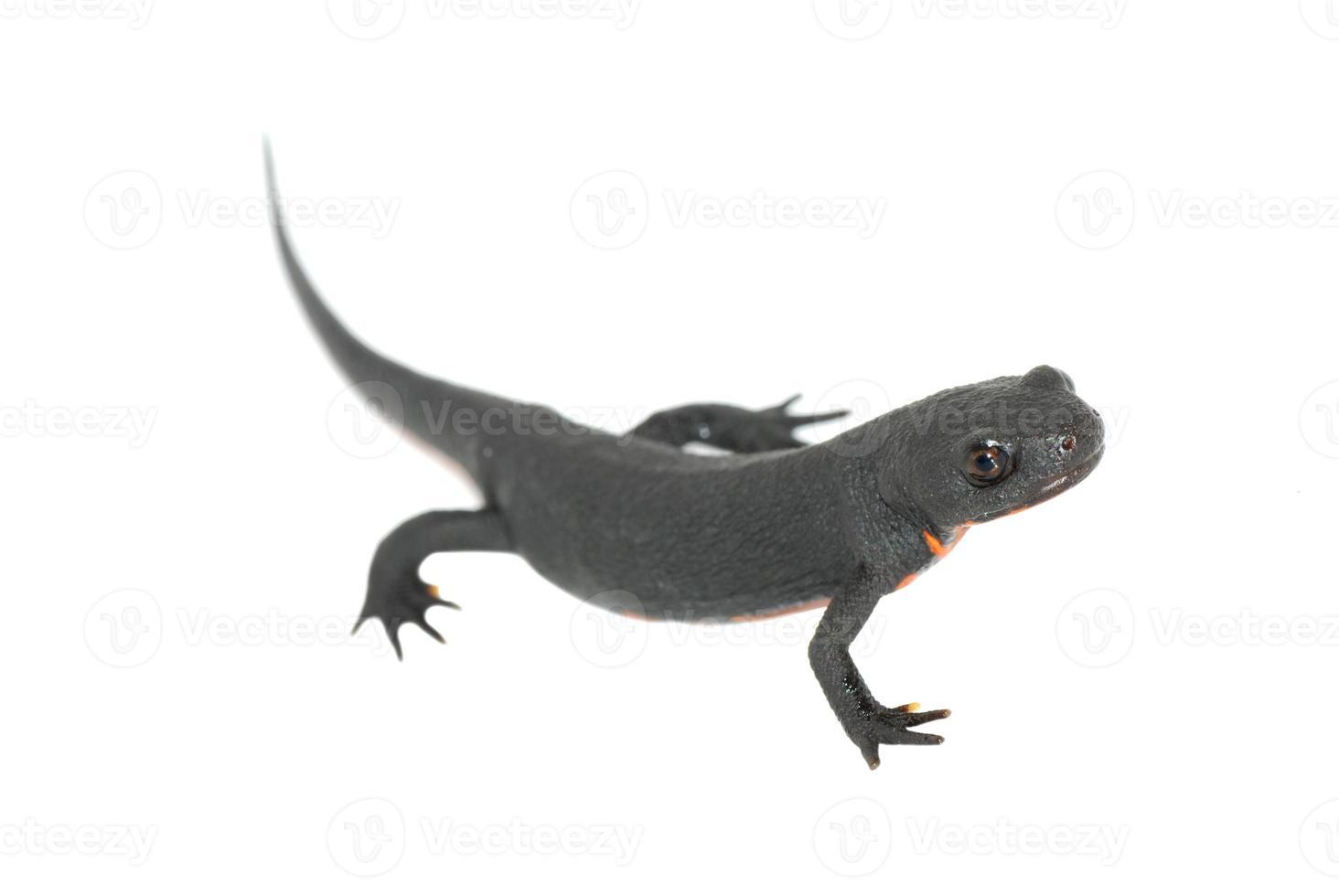 salamandra de fogo animal isolada foto
