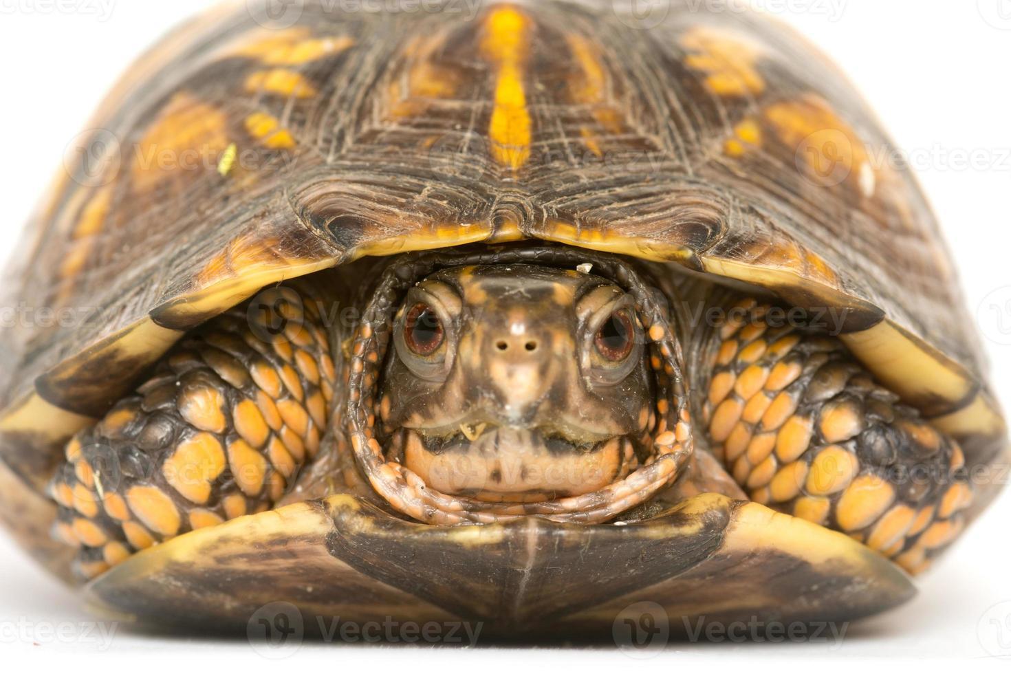 tartaruga de caixa oriental foto