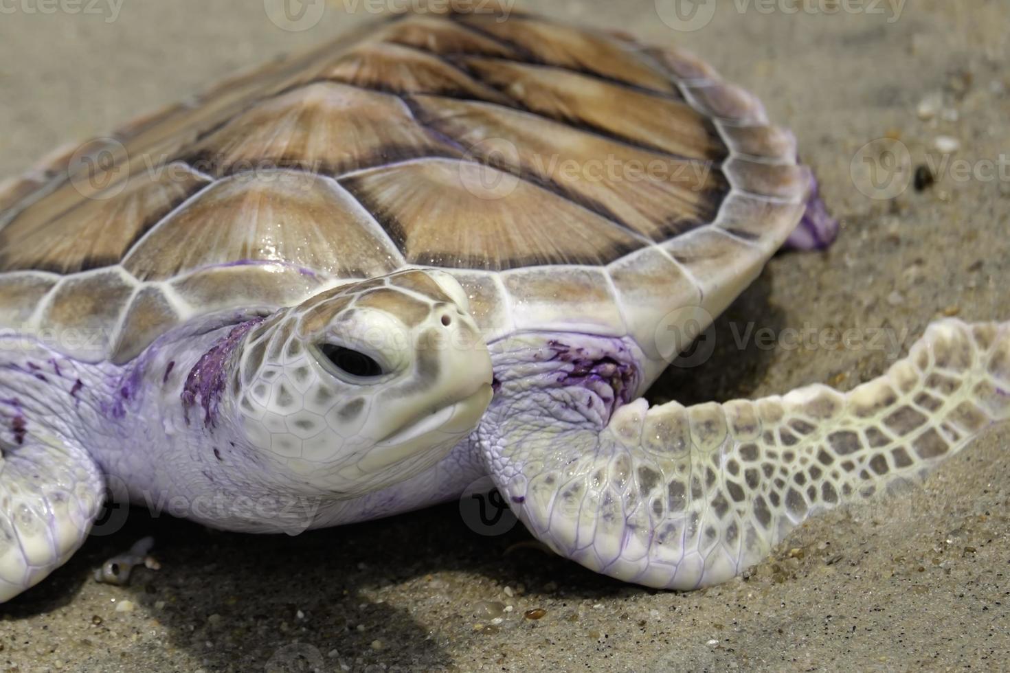 tartaruga verde, tailândia foto