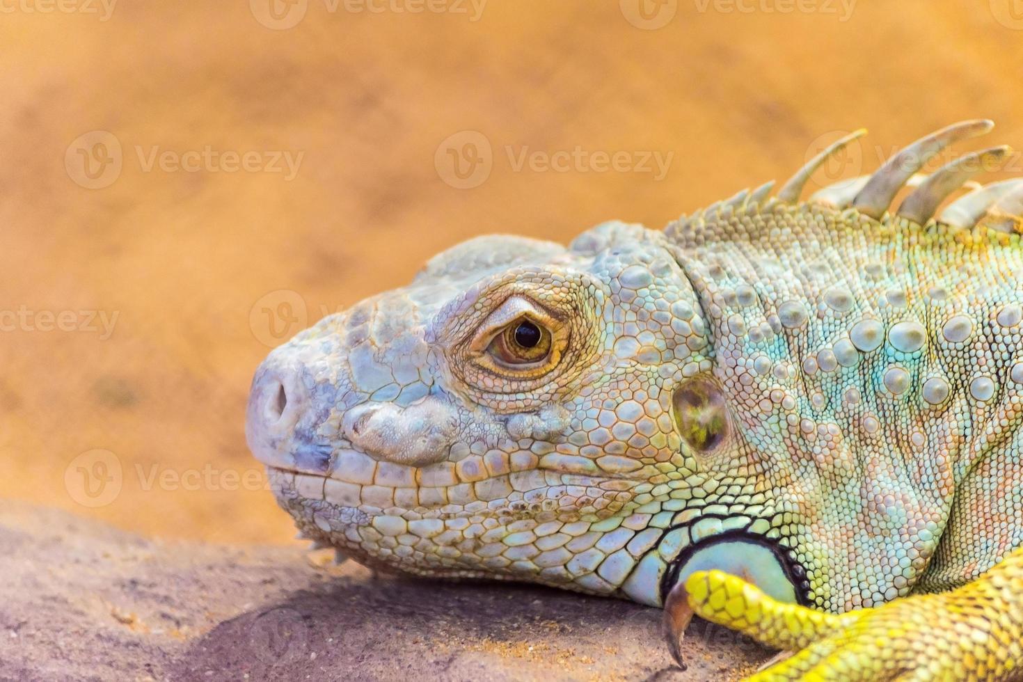 dragão barbudo pogona vitticeps foto