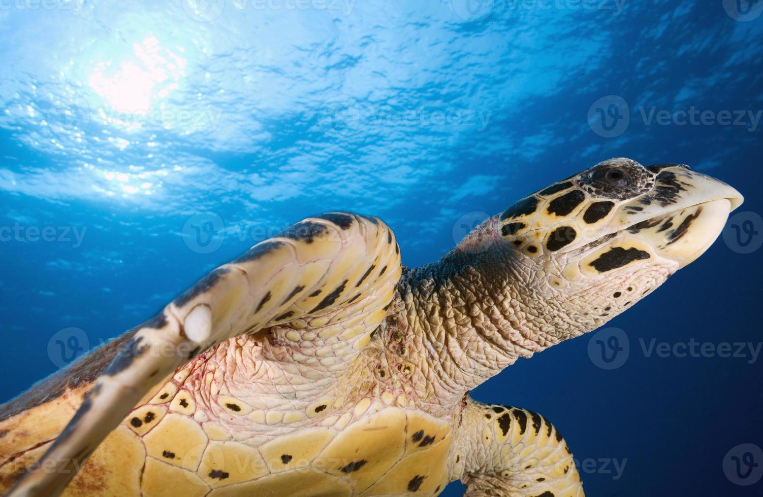 tartaruga-de-pente / eretmochtelys imbricata foto