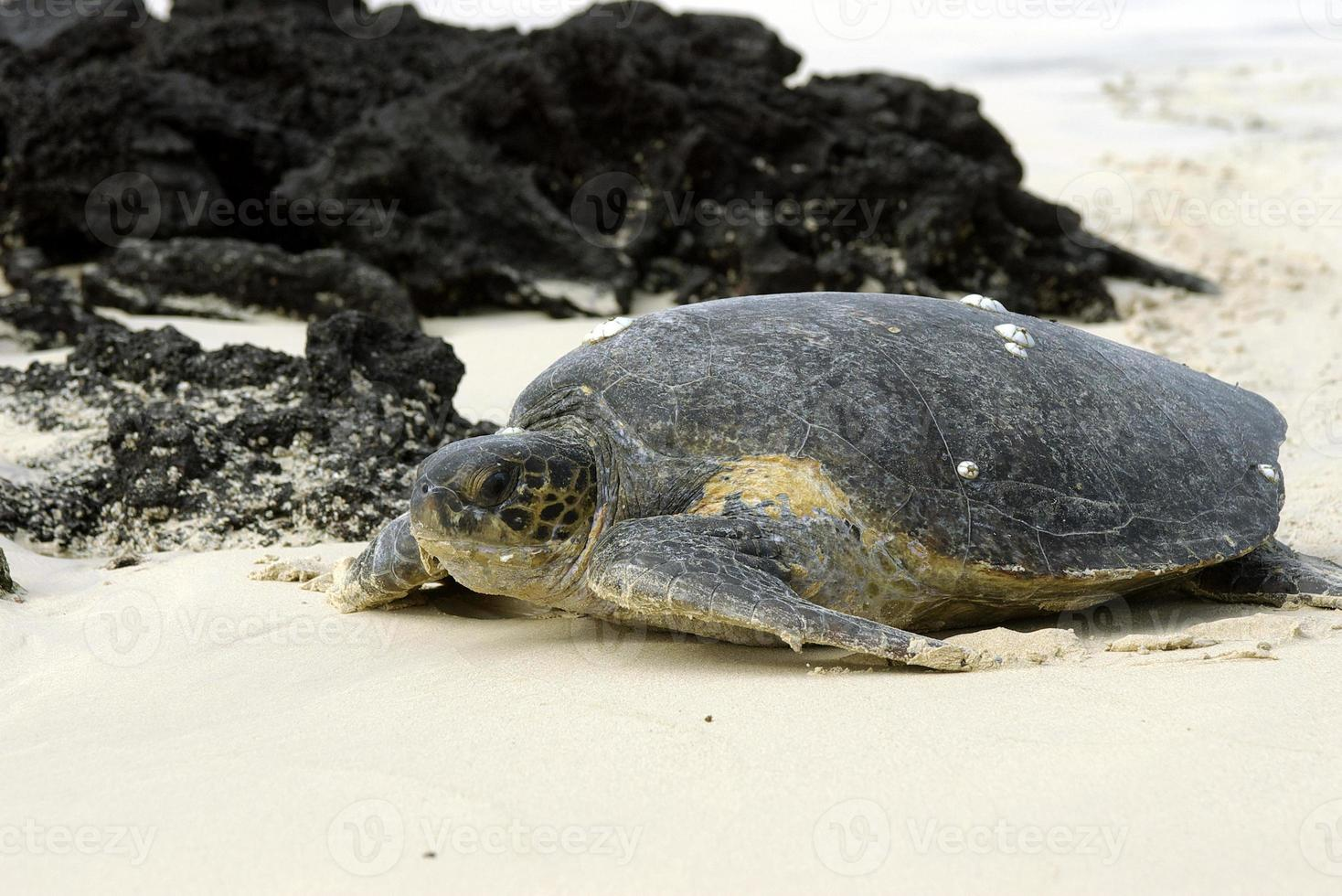 tartaruga verde galápagos foto