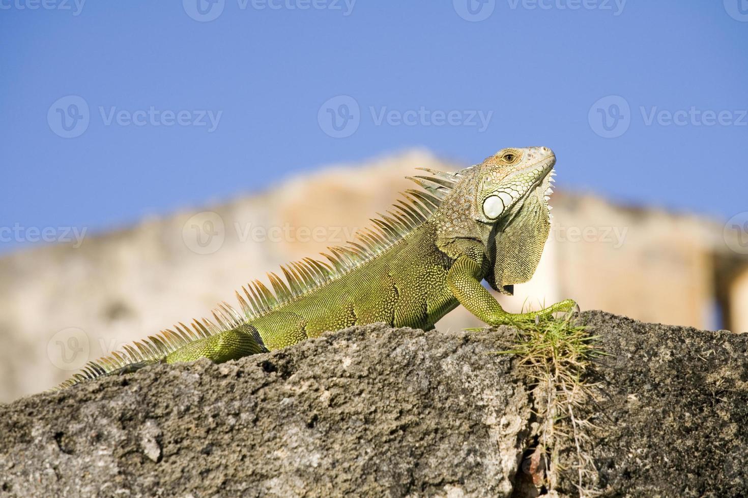 iguana verde de porto rico foto