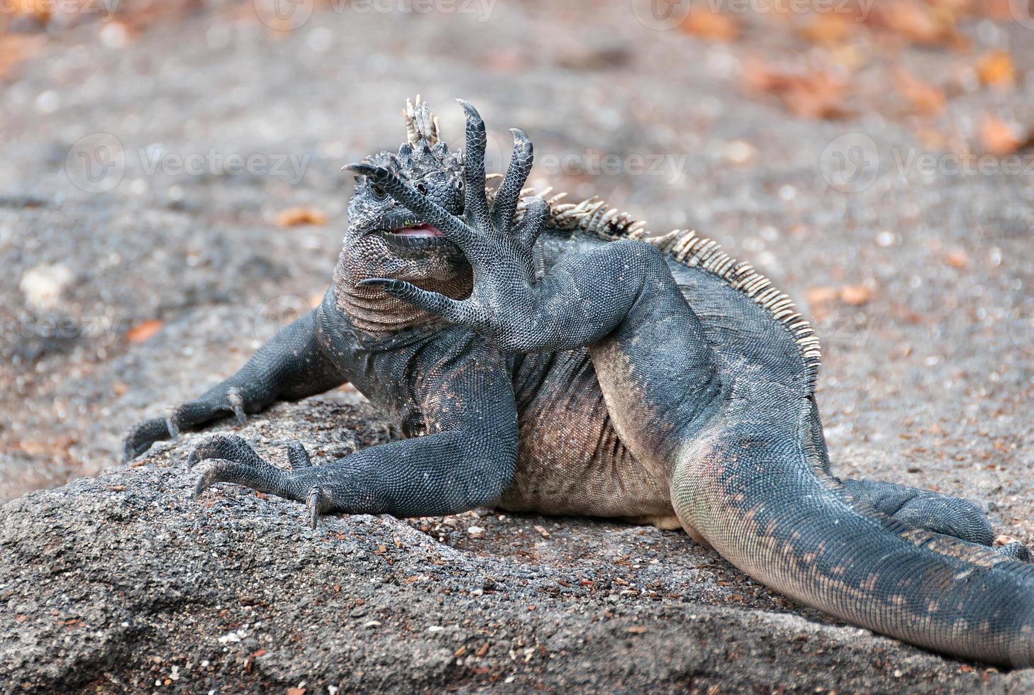 iguana marinha de Galápagos lambendo o pé. foto