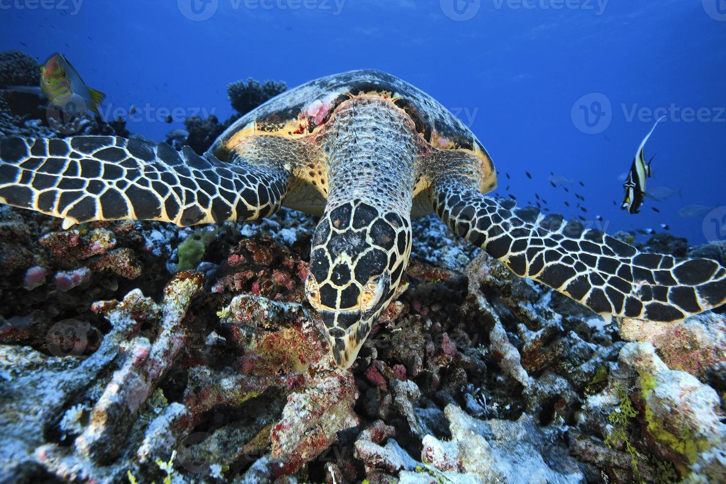 tartaruga-de-pente / erethmochelys imricata foto