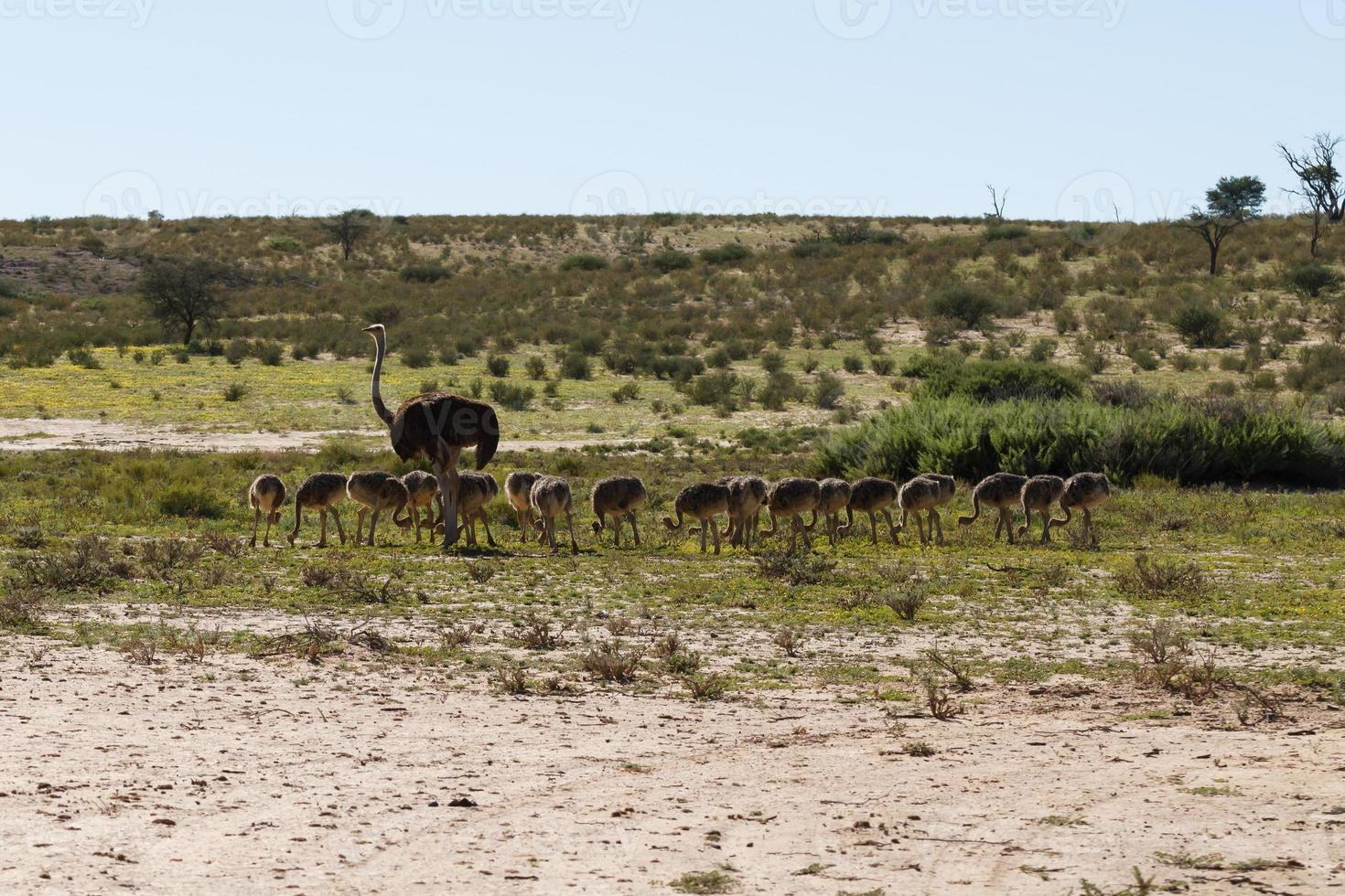 avestruzes foto