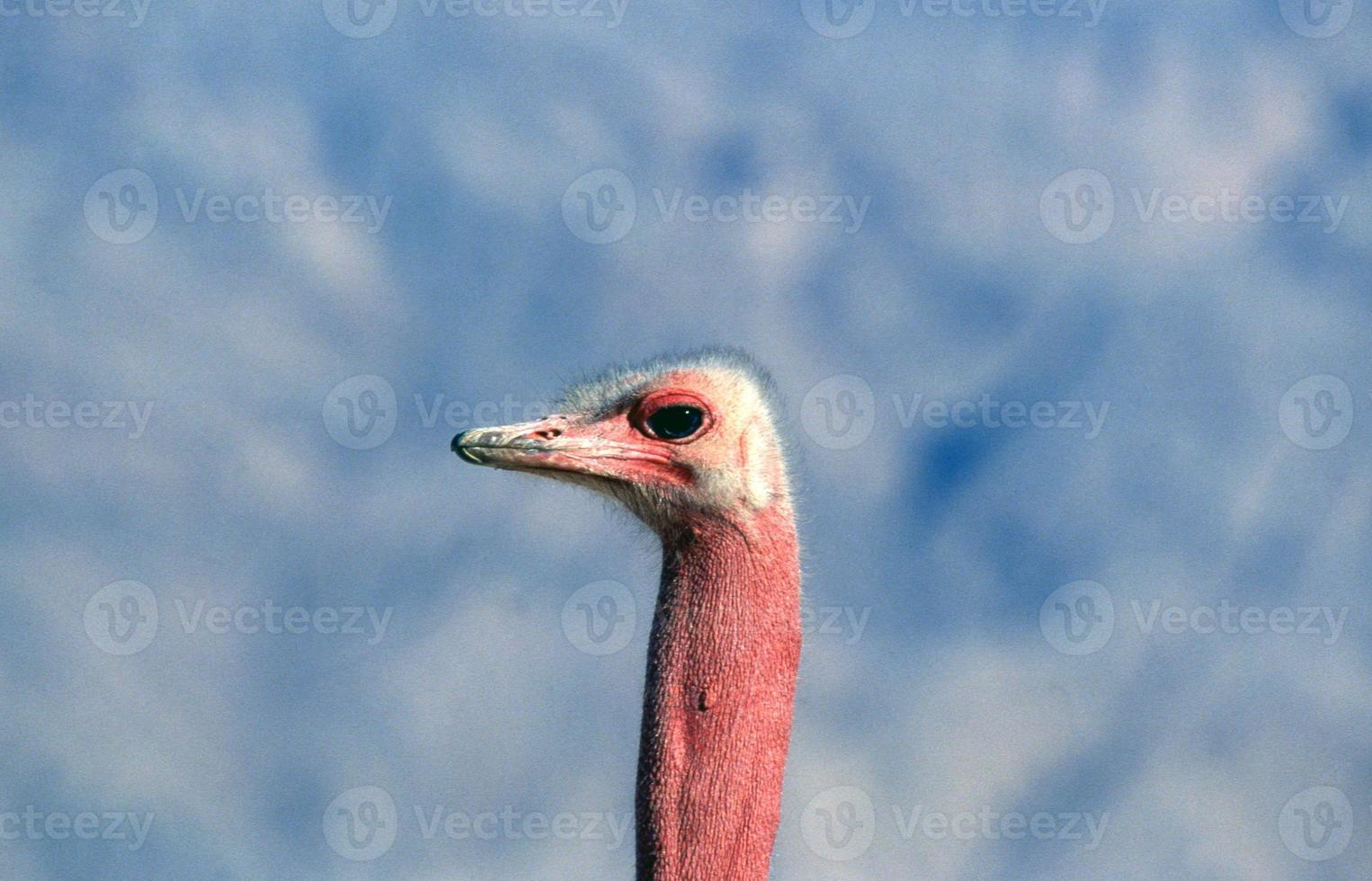 cabeça de avestruz foto
