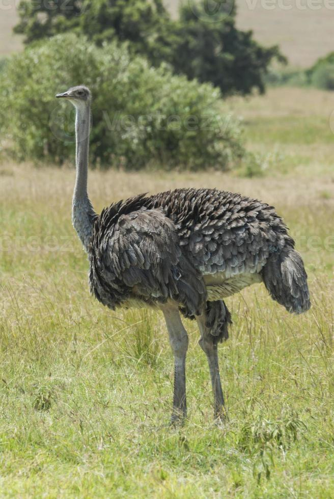 avestruz feminino foto