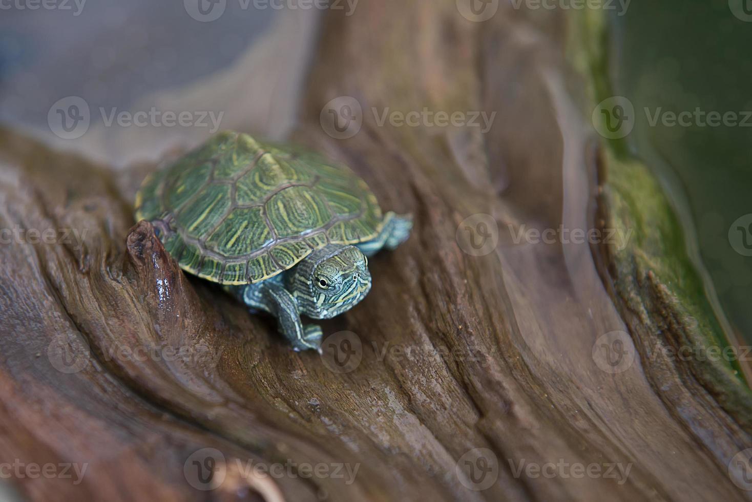 pequenas tartarugas japonesas foto