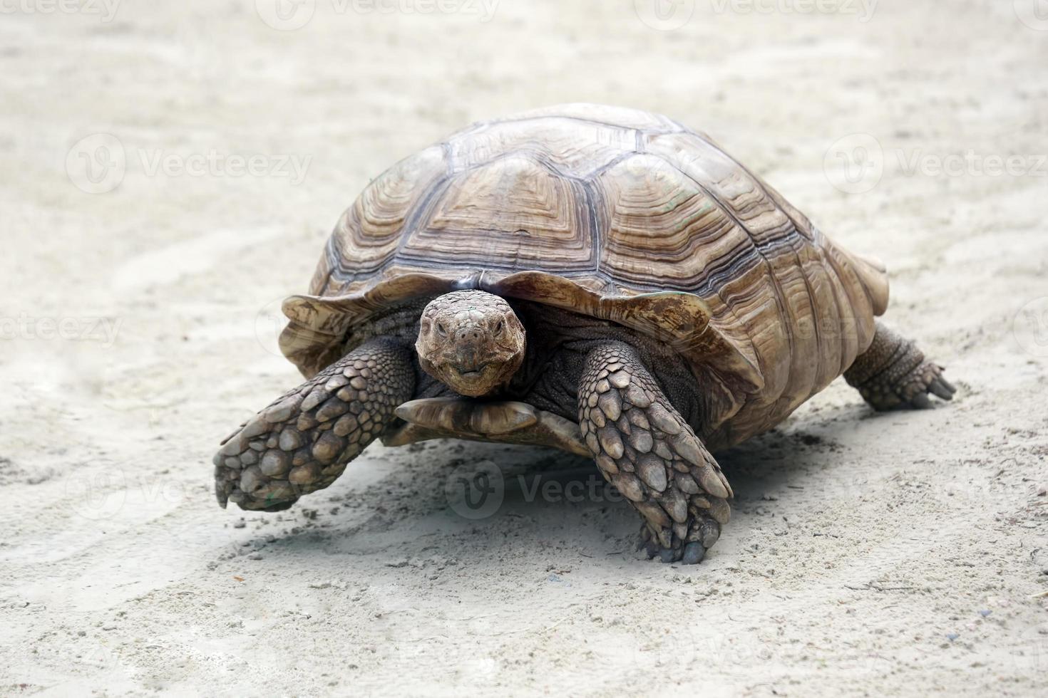 tartaruga grande elefante rastejando na areia foto