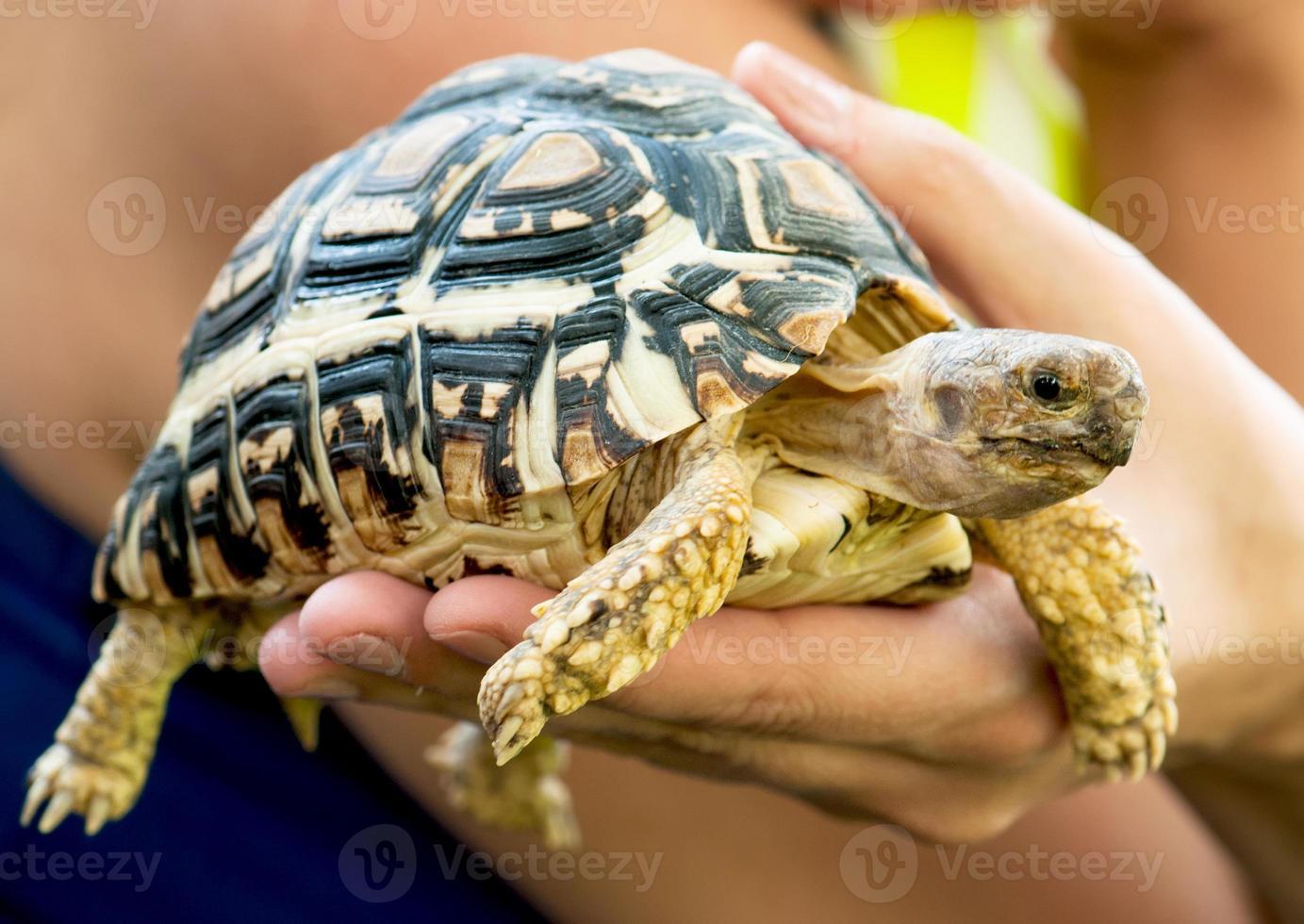 linda tartaruga na mão de uma mulher foto