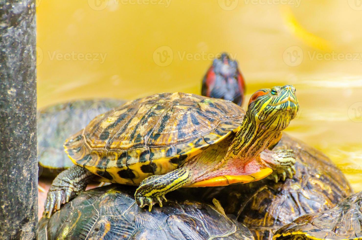 tartaruga deslizante orelhuda vermelha foto