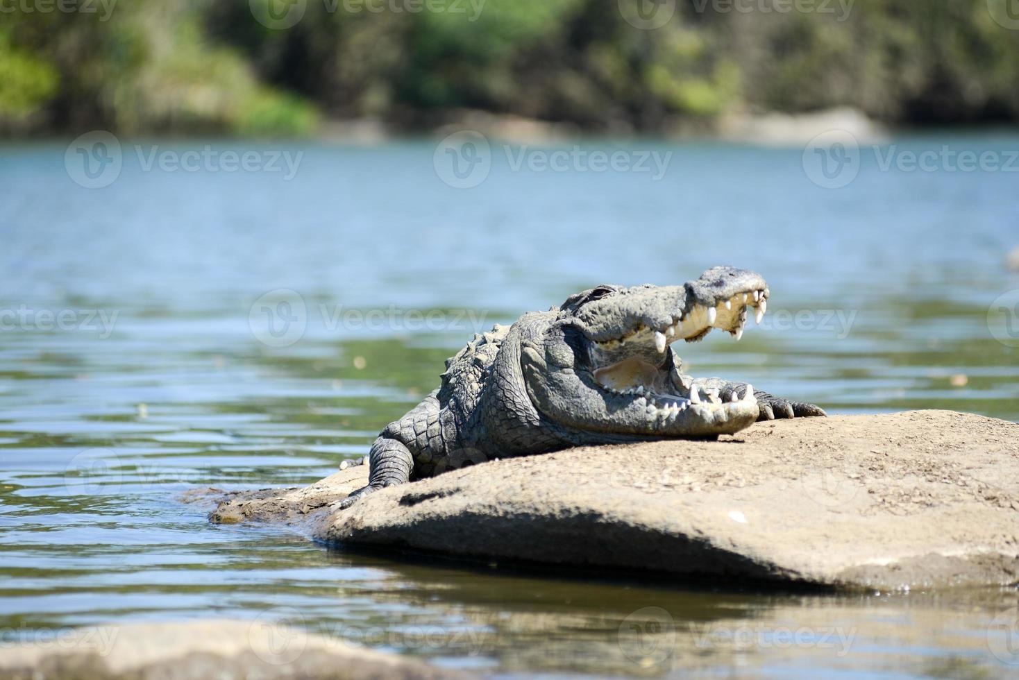 ladrão de crocodilo foto