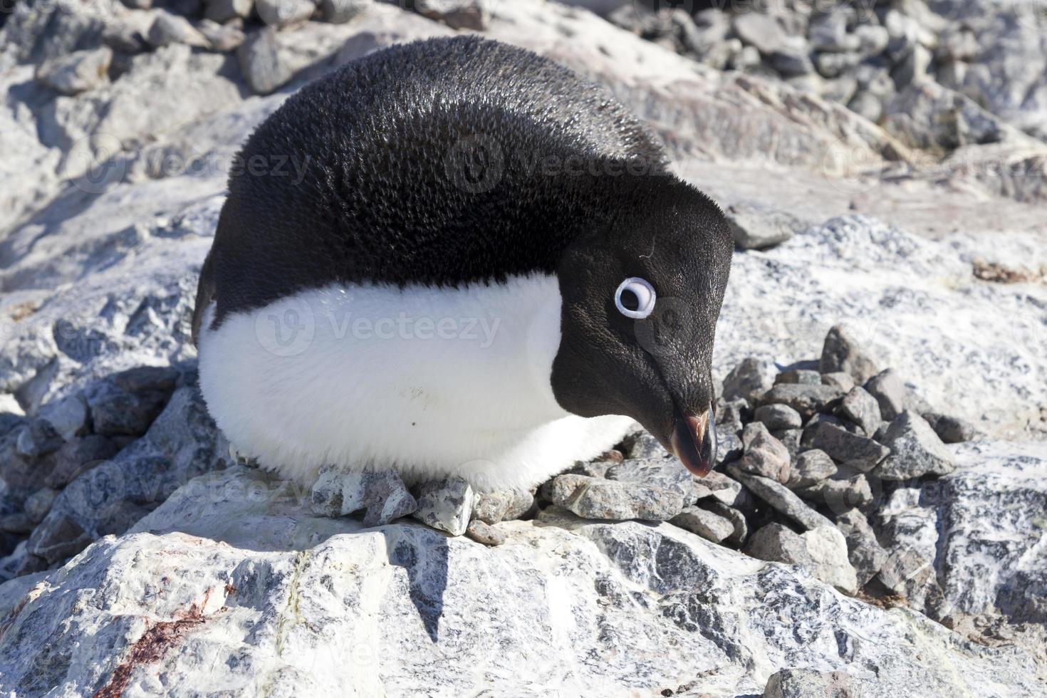 pinguim adélia fêmea sentado no ninho e assustador observador foto