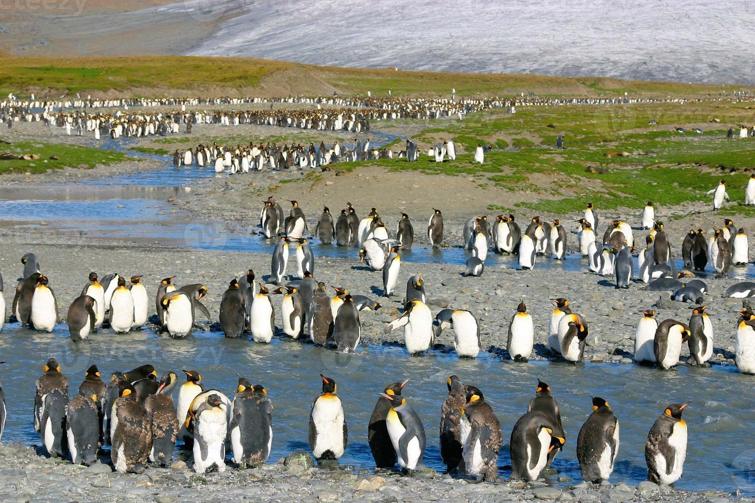 jovem rei pinguins foto