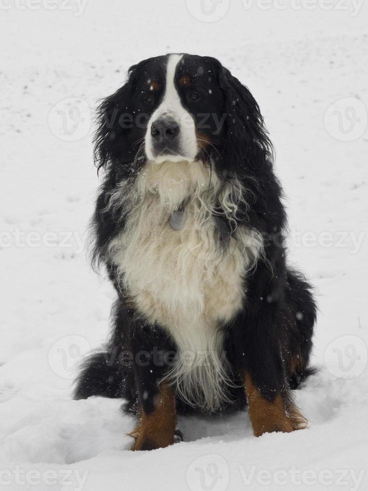 cão de montanha bernese foto