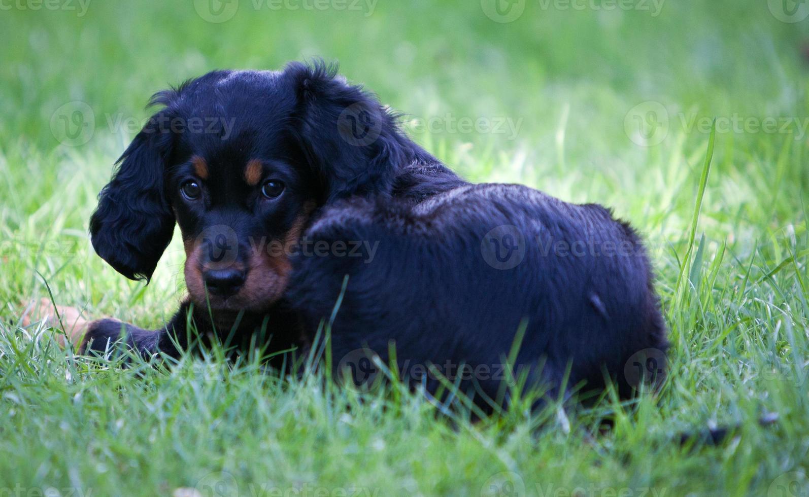 filhote de cachorro setter gordon deitado na grama verde foto
