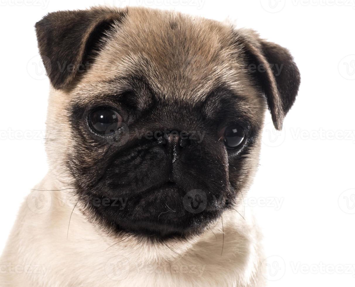 retrato de cachorro pug foto
