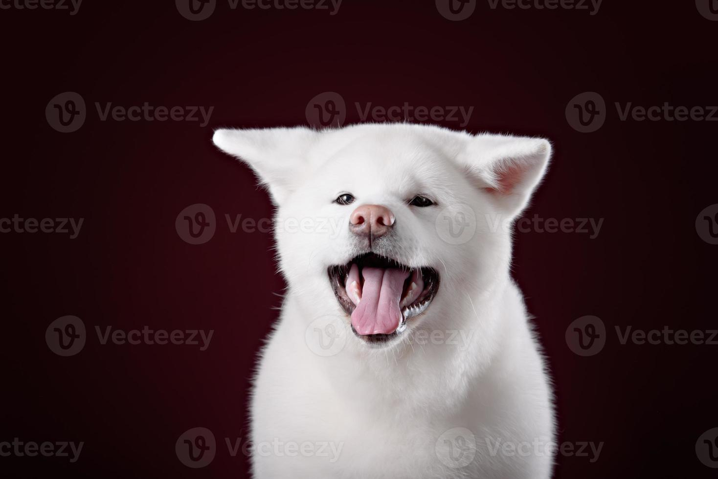 filhote de cachorro bonito akita inu foto