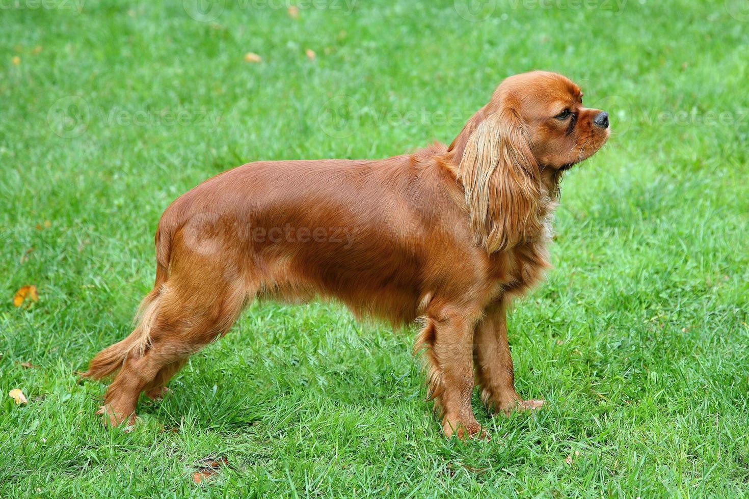 retrato do rei cavalier charles spaniel em uma grama verde foto