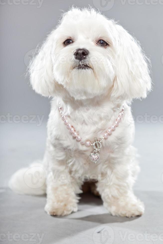 cão branco jovem malteser com colar rosa. tiro do estúdio. foto