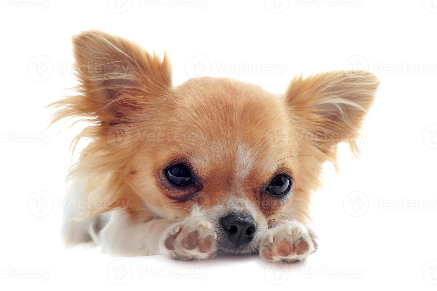 filhote de cachorro chihuahua cansado foto