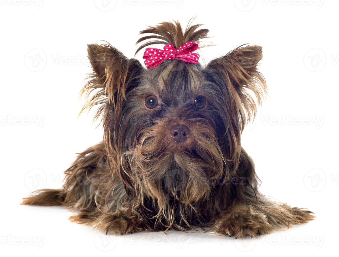 yorkshire terrier de chocolate foto
