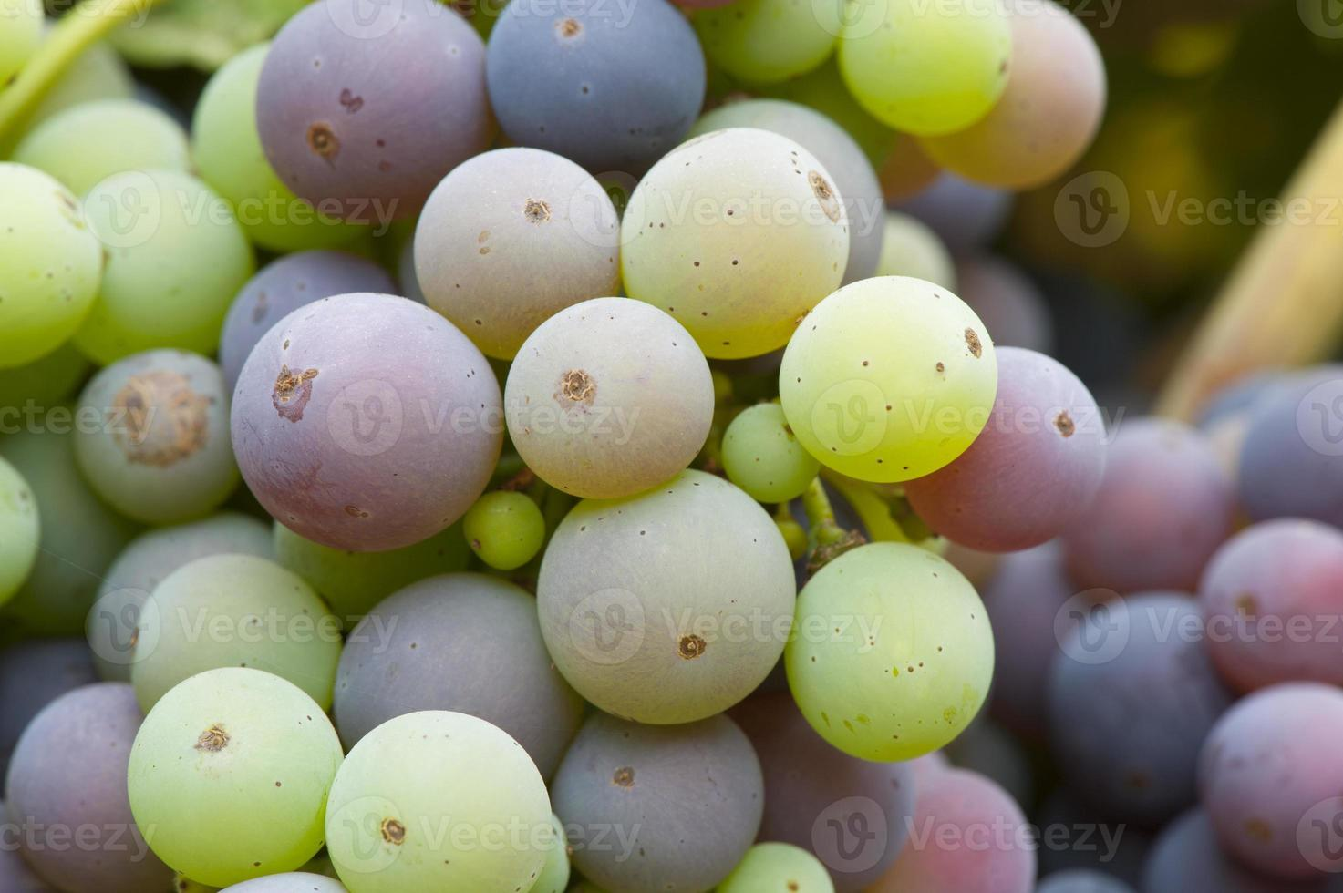 uvas zinfandel orgânicas, amadurecimento foto