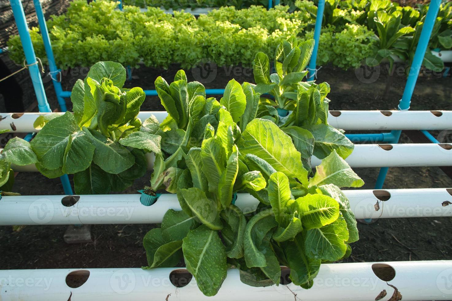 verde orgânico, vegetal de hidroponia de cultivo na fazenda foto