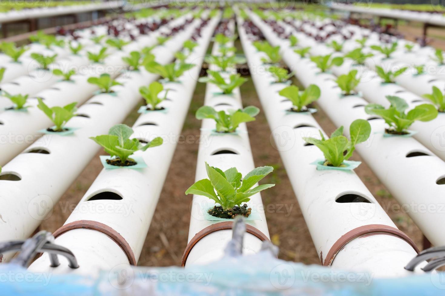 plantação de vegetais hidropônicos foto