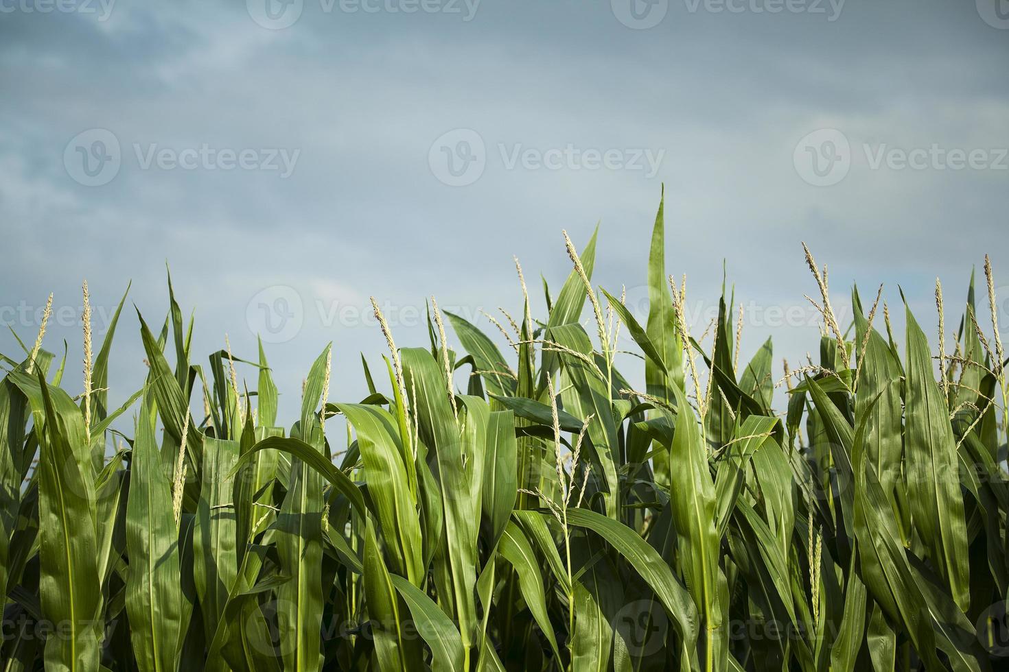 campo de milho, pronto para a colheita foto