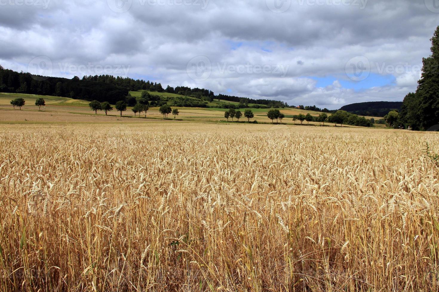campo de trigo dourado foto
