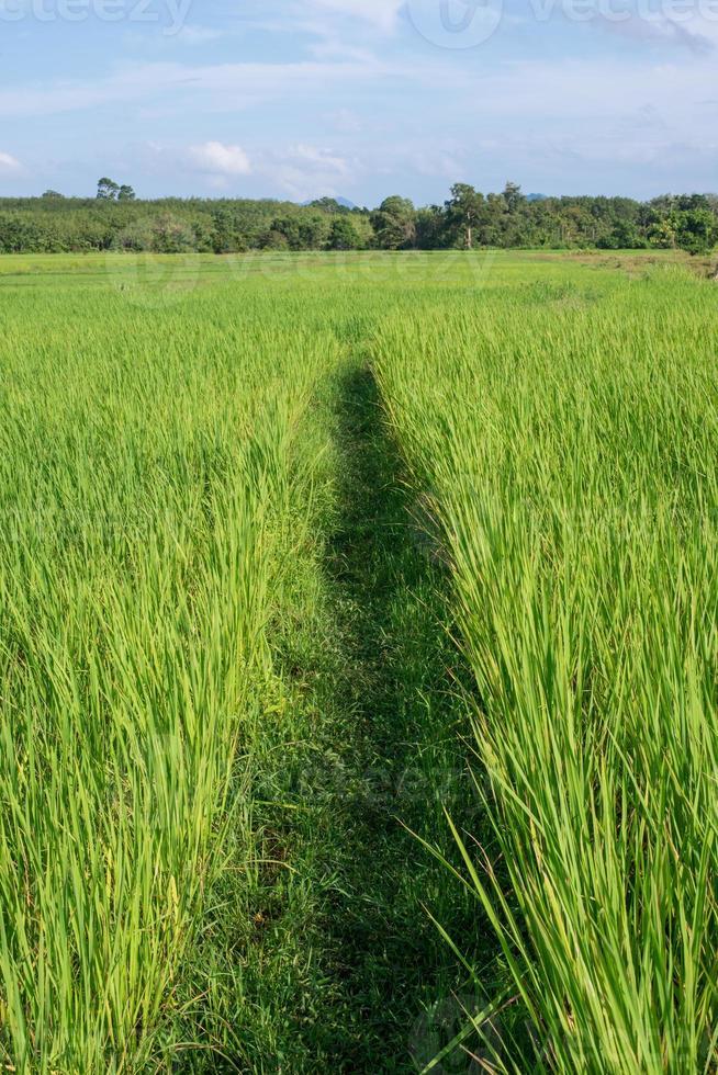 campos de arroz verde foto