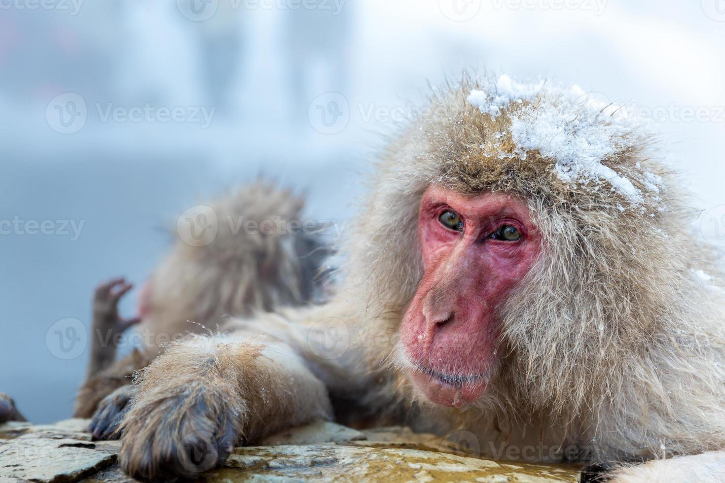 macaco macaco da neve onsen foto