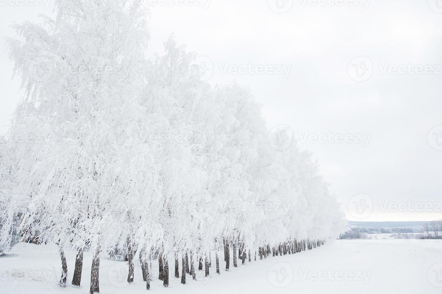 floresta de vidoeiro no inverno foto