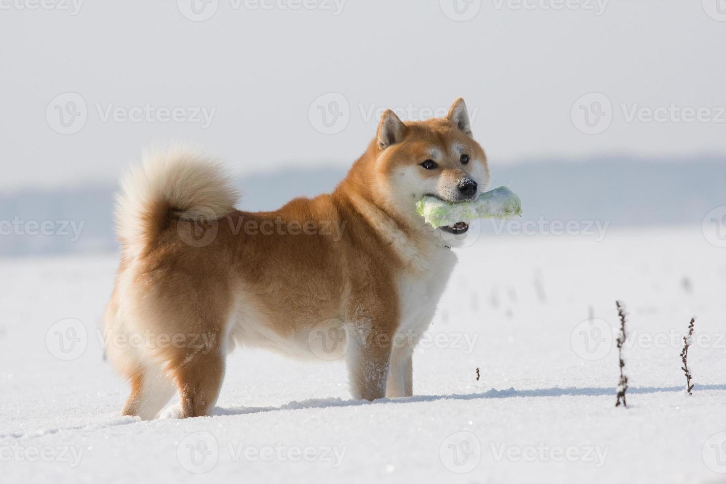 cão shiba inu no inverno foto