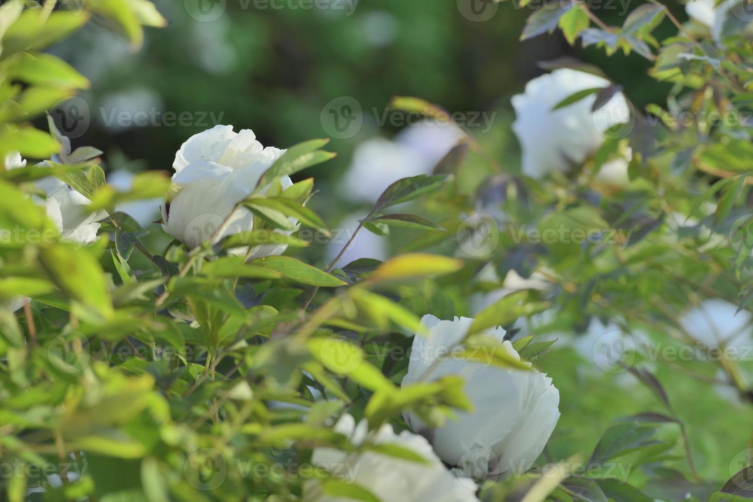 peônias de árvores de flores foto