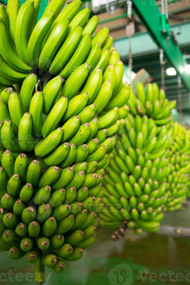 banana das Canárias platano em la palma foto