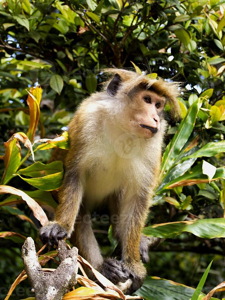 macaco asiático na árvore foto