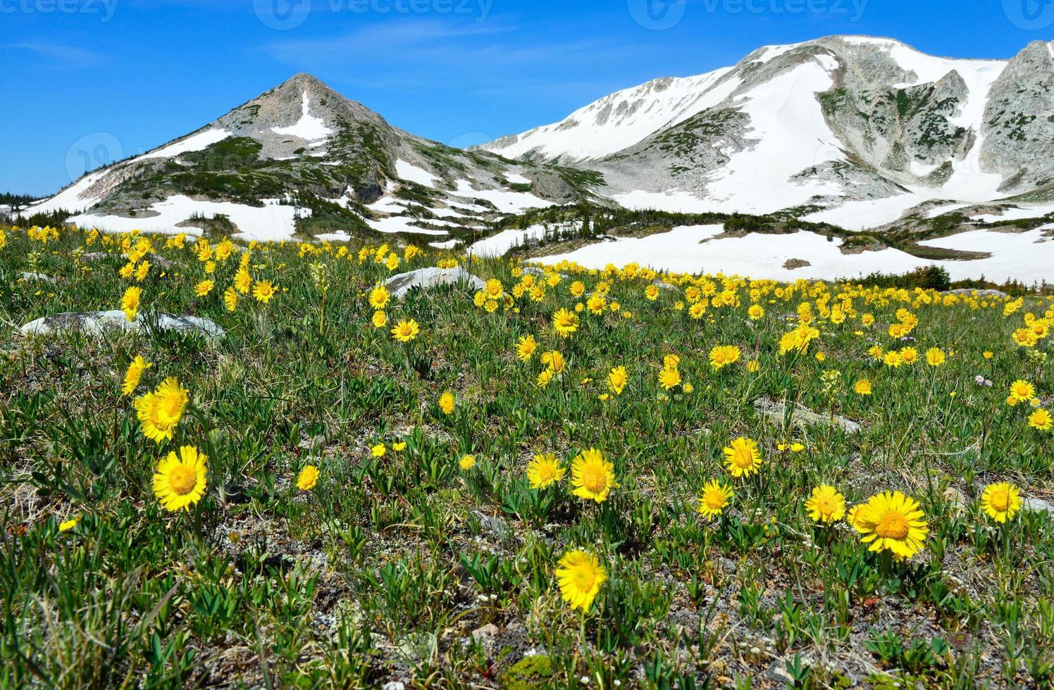 Prado alpino com flores silvestres nas montanhas nevadas foto