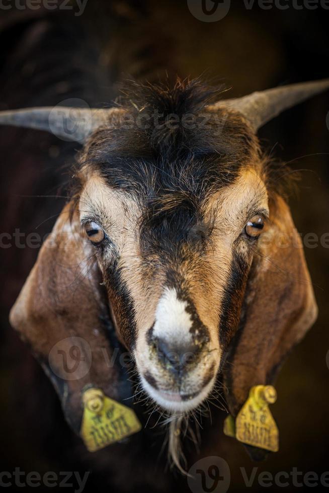 eid al-adha, kurban bayrami - cabras no mercado de gado em istambul. foto