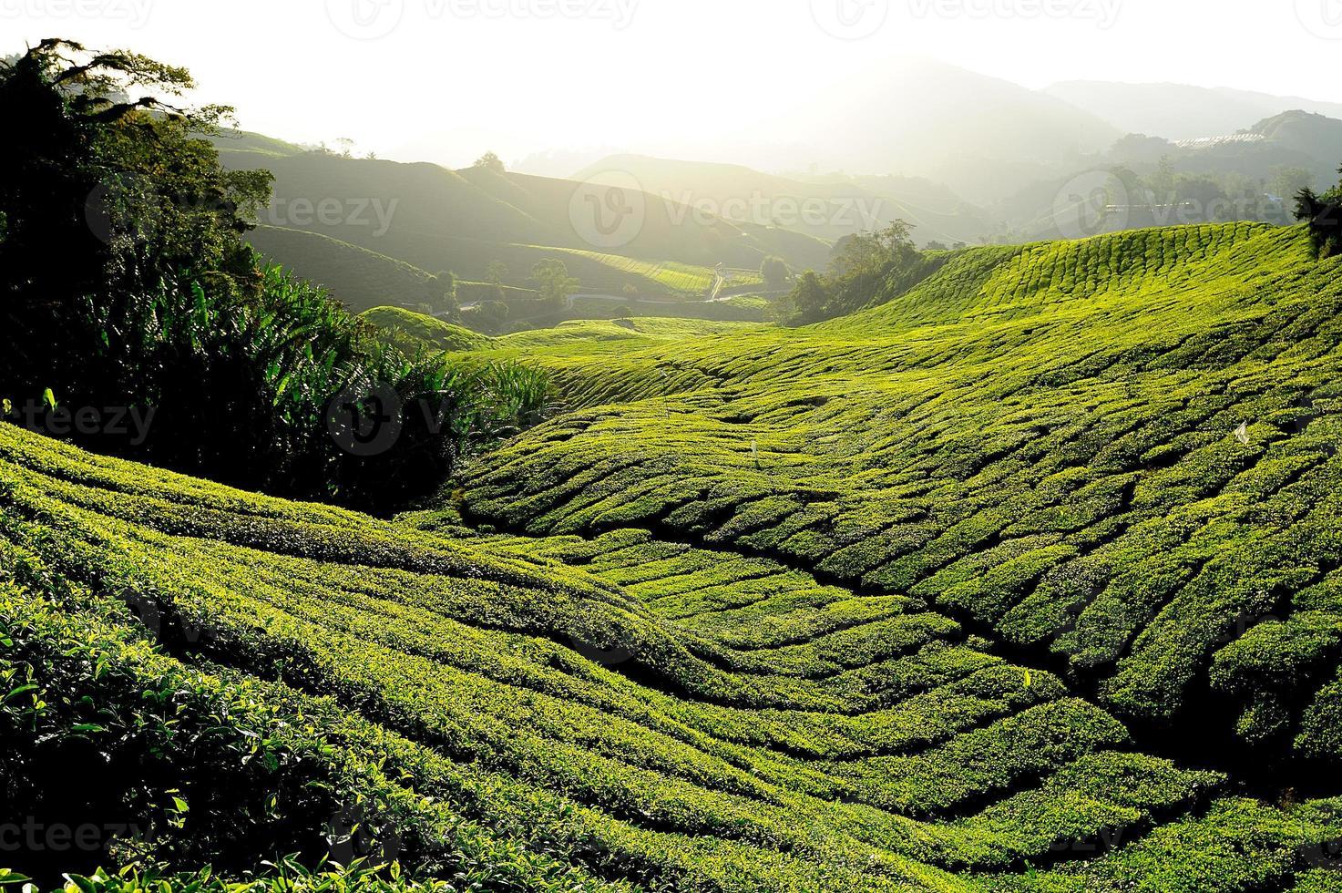 campos de plantação de chá ao nascer do sol foto