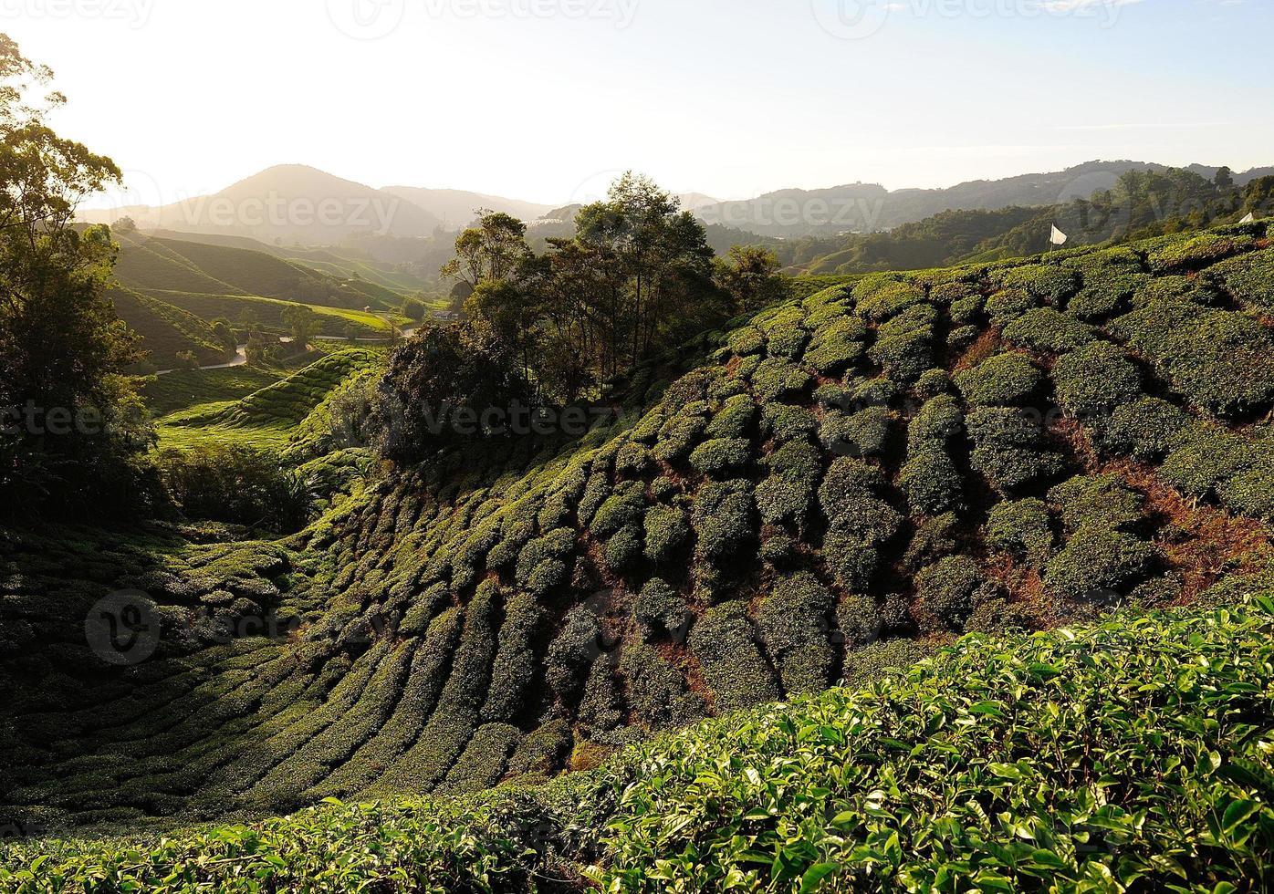 campos de plantação de chá nas colinas foto