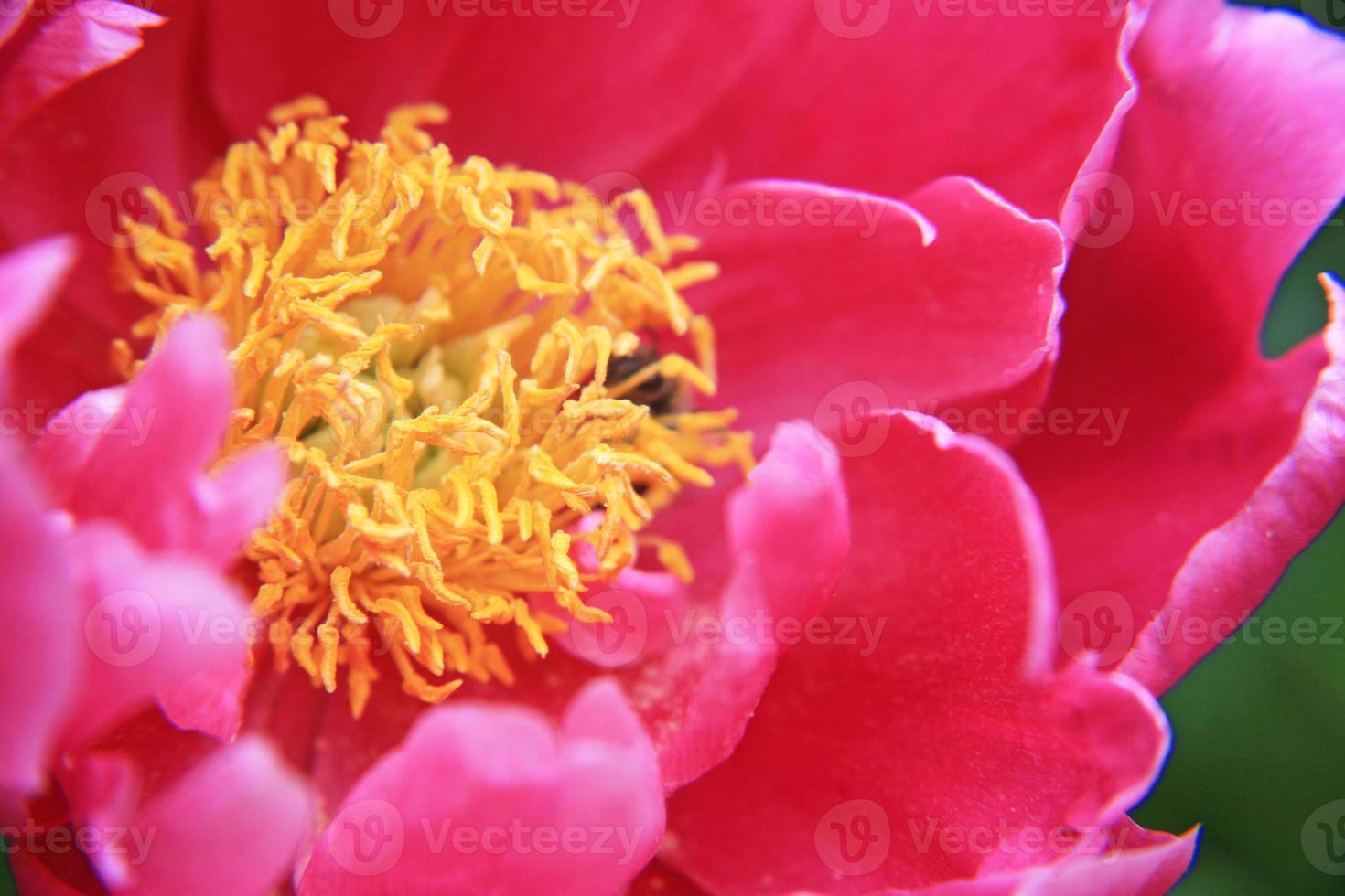 peônia vermelha foto