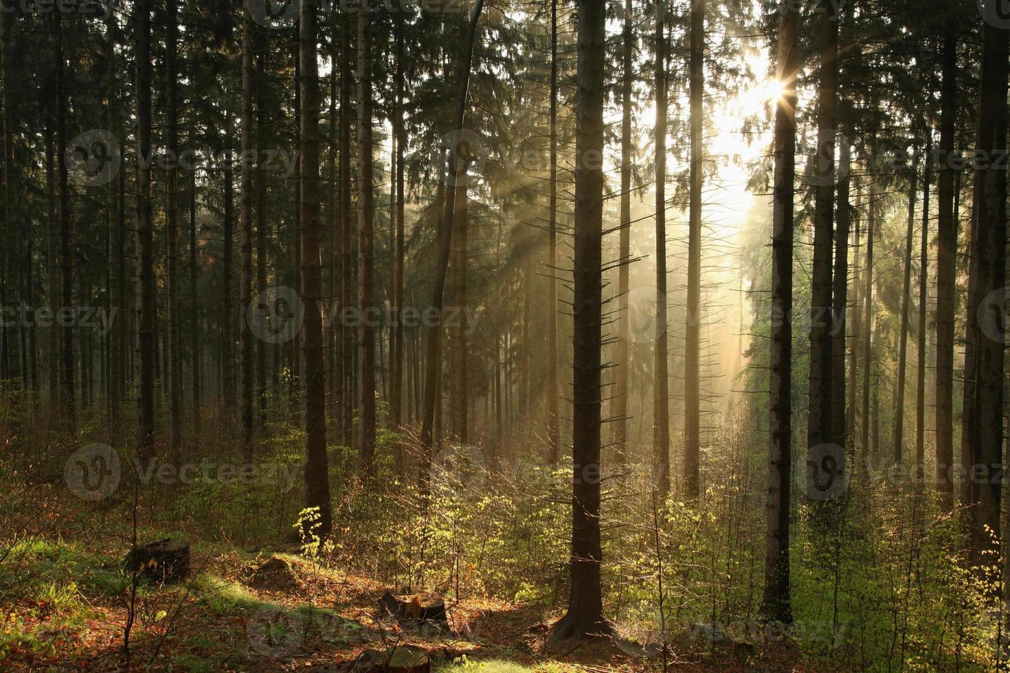 floresta de coníferas enevoada ao amanhecer foto